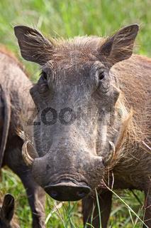 Warzenschwein, Südafrika; Warthog, South Africa