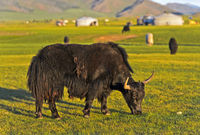 Grazing black yak (Bos mutus), Orkhon Valley, Mongolia