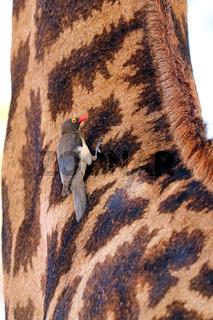 Rotschnabel-Madenhacker auf Giraffe, Red-billed oxpecker on a giraffe, Südafrika, Kruger Nationalpark, Buphagus erythrorhynchus
