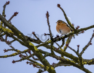 Male common chaffinch bird, fringilla coelebs