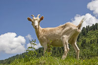 Goat in the mountains of Tyrol