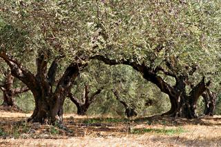 Olivenbaeume. Kreta