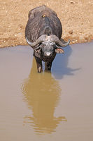African buffalo at a river, Kruger NP, South Africa