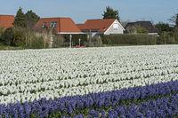 Blühendes Hyazinthenfeld in der Blumenzwiebelregion Bollenstreek
