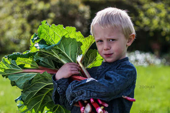One little preschool boy who have Harvest one great bunch of rhubarbs in the garden on a sunny spring day.
