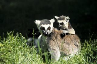 Katta,Lemuren
