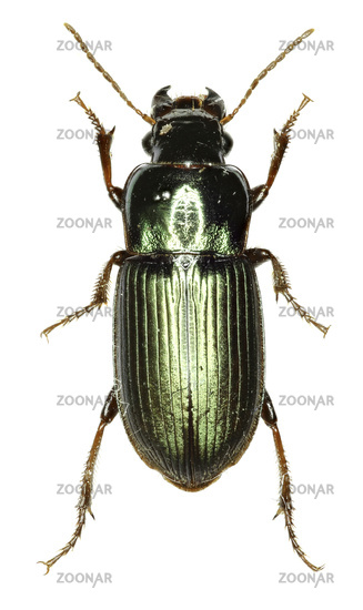 Photo Green Ground Beetle Harpalus on white Background
