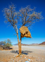 At roadside tree - nest tropical finch