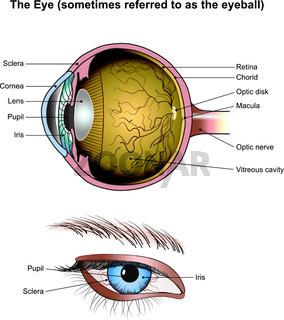Die Augen. Illustration Anatomie.