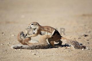 Erdhoernchen, Afrikanisches Borstenhoernchen raufen (Xerus rutilus), Kalahari, Kgalagadi Transfrontier Park, Suedafrika, Botswana, Afrika, African ground squirrel playing, Africa