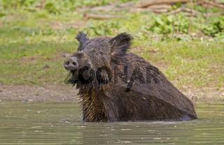 Wildschwein im Wasser (Sus scrofa)