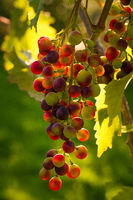 A vine with ripe red grapes hangs on a vine