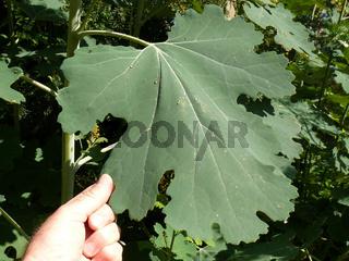 Macleaya cordifolia, Federmohn
