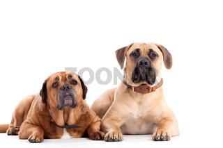 2 Bull mastiff dogs  looking