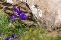 Frauenschuh / violette Bergblume
