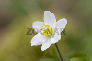 Buschwindroeschen, Anemone nemorosa, wood anemone