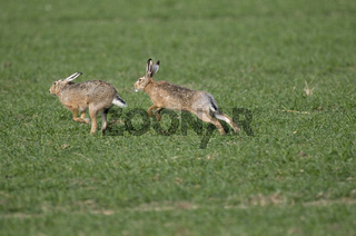 Feldhase Paarungszeit, European Hare breeding season