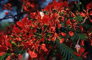Flamboyant Blüten