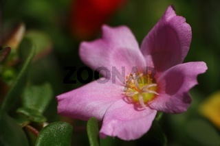Portulakröschen in rosa