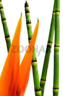 Close up of Strelitzia Reginae and reed