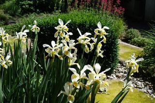 Iris ochroleuca, syn. Iris orientalis, Steppen-Iris, oriental iris