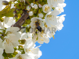 Apis mellifera - Bee pollinating a cherry tree on blooming at springtime