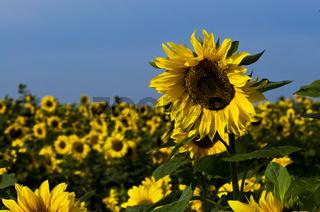 Sonnenblumenfeld im Sonnenlicht
