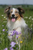Australian shepherd dog sitting between flowers