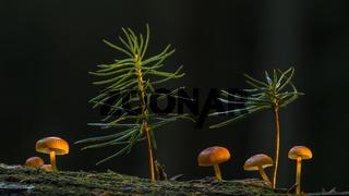 Jungpilze auf Totholz