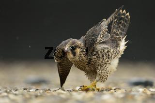 höfische Verneigung... Wanderfalke *Falco peregrinus*, Jungfalke streckt sich auf einem Kiesdach