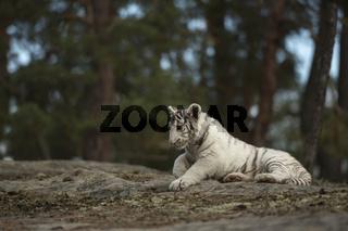 elegant... Königstiger *Panthera tigris*