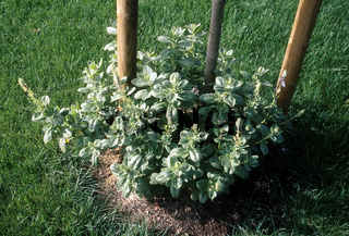 Plectranthus caninus, Verpiss-Dich-Pflanze