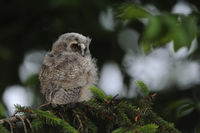 just fledged... chick of Long-eared Owl *Asio otus*, owlet perched in a conifer, backside view