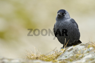 Dohle (Corvus monedula)3.jpg