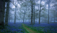 Bluebells in the mist