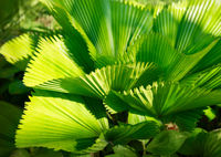 Bright leaves of Licuala grandis or the Ruffled Fan Palm
