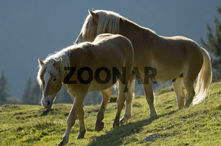 Pferd Haflinger, Horse
