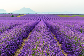 lilac lavender fields surrounded by mountains, Provence