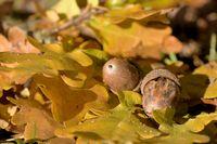 oak leafs with acorns