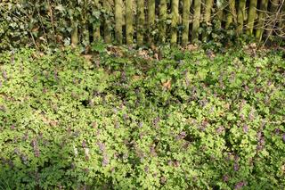 Corydalis cava, Hohler Lerchensporn