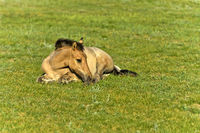 Colt lying in the grass,  Mongolia