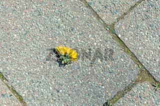 Squashed dandelion lying on a cement sidewalk
