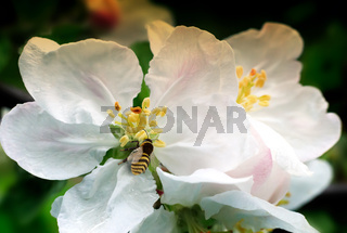 On the flowers of Apple bee collects nectar.