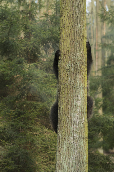 just funny... European Brown Bear *Ursus arctos*