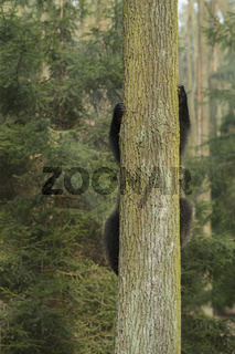 Baumsteiger... Europäischer Braunbär *Ursus arctos*