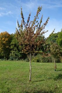 Cornus mas, Kornelkirsche, european cornel, Hochstamm, standart tree