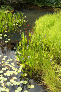 Pontederia cordata, Hechtkraut, pickerelweed