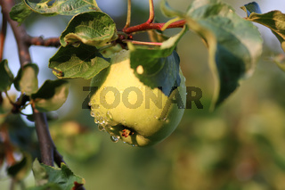apple fruit on tree branch rain drop