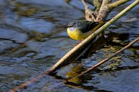 grey wagtail hunting