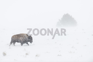 gegen den Wind... Amerikanischer Bison *Bison bison*
